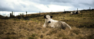 Cattle in the Lake District