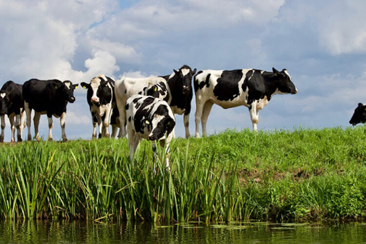 Cattle grazing high risk pasture near watercourse