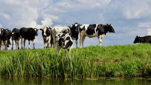 Cattle grazing high risk pasture near watercourse