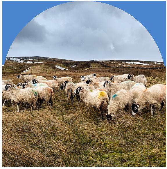 Sheep flock in Nidderdale, Yorkshire Dales