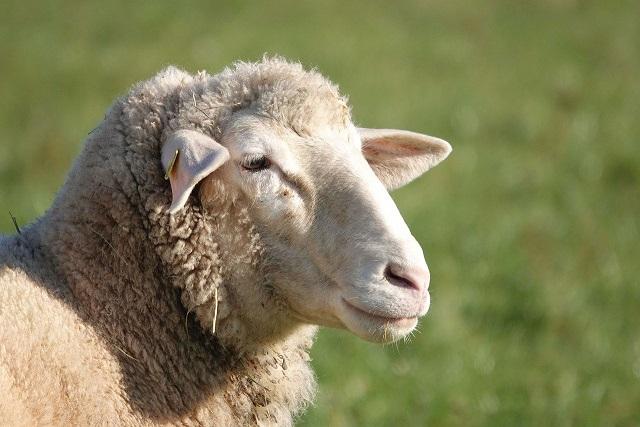 Sheep Welfare